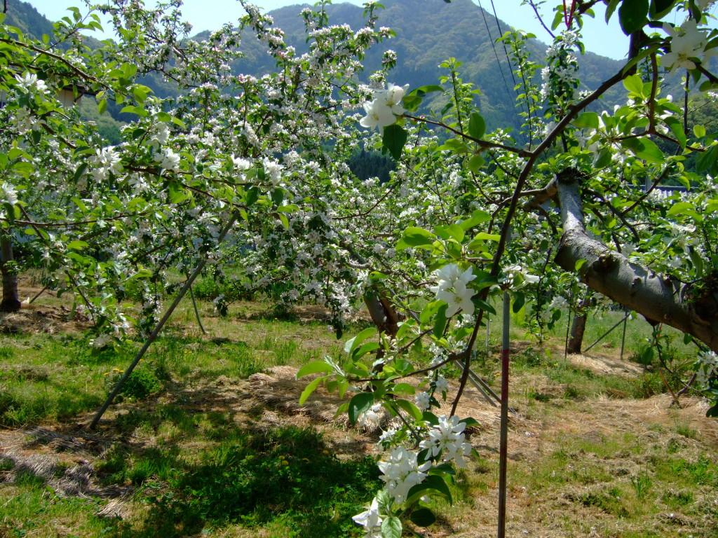林檎の花の一輪摘花に追われています。