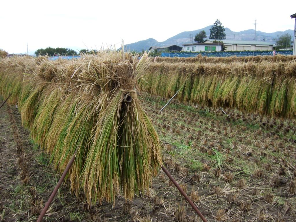 稲刈りも無事終わりました。豊作のようです。