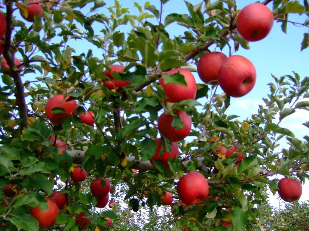 秋も深まり、ふじ林檎の収穫も近くなりました。