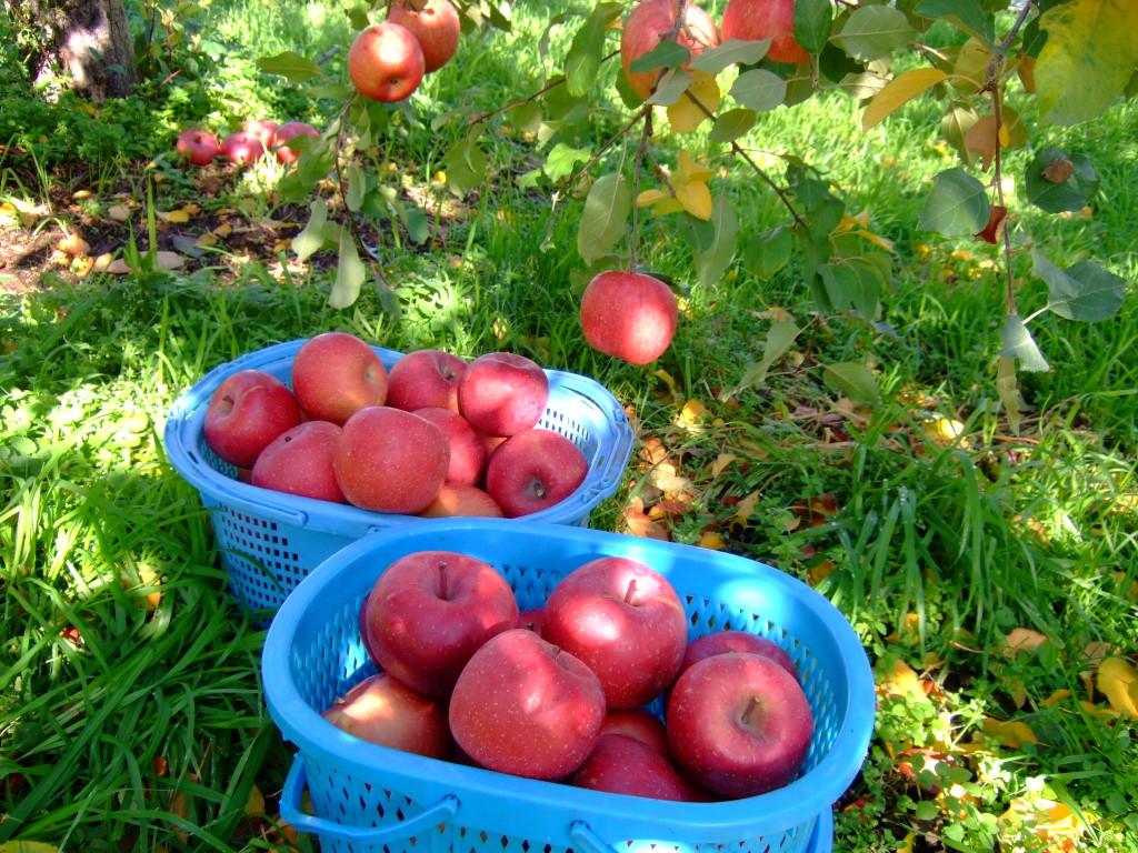 収穫したての完熟ふじ林檎と紅霜月のセットはいかがでしょうか?