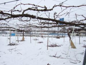 粗く摩り下ろしたふじ林檎と寒天で試作しています。