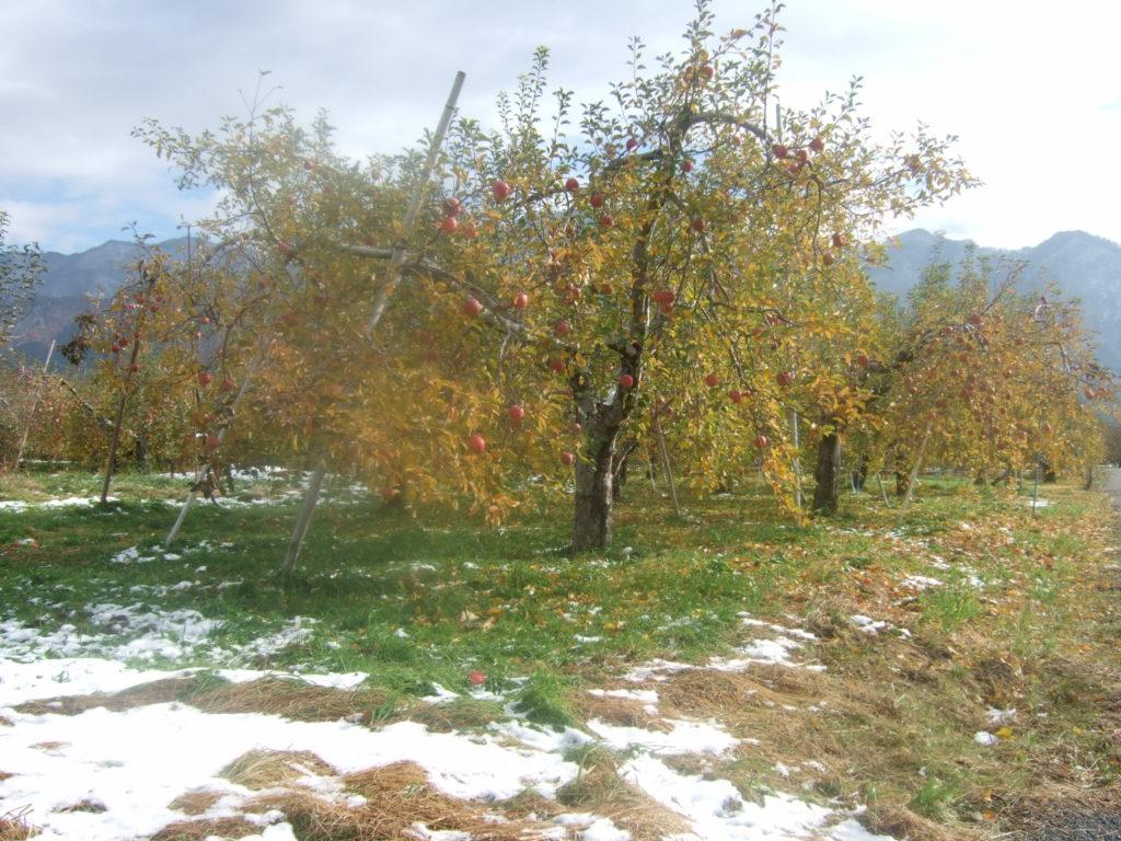 昨日、雪が降り、ふじ林檎の収穫急いでいます。
