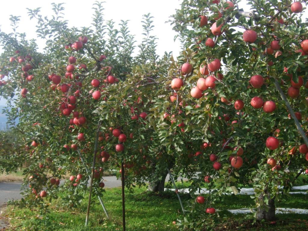 ふじ林檎の収穫も、そろそろ終わりです。