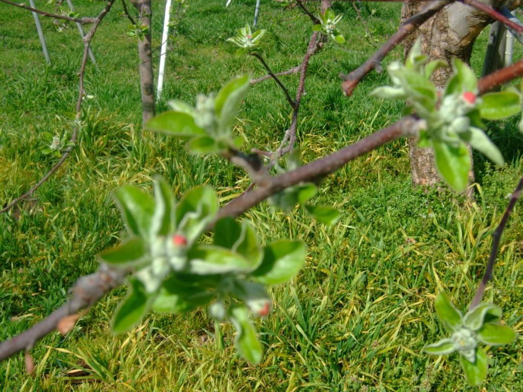 早くも、林檎の花が顔をのぞかせています。