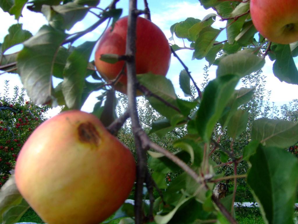 ふじ林檎の収穫近くなりました。